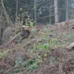 Abholzung nach Borkenkäferbefall